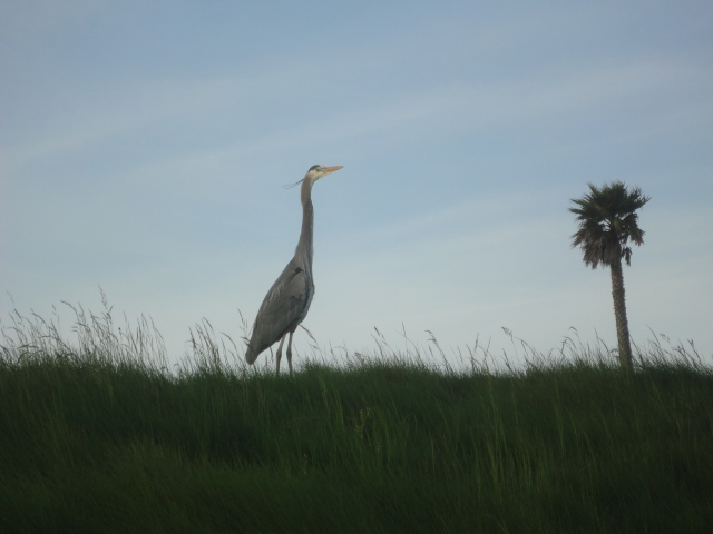 On our walk this morning, a great blue heron just off the path